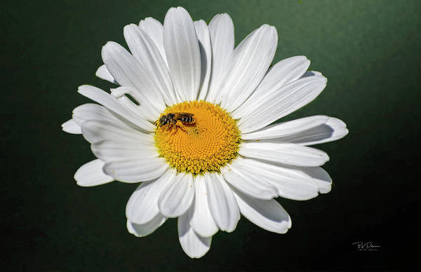 Photograph - Daisy Bee by Bill Posner