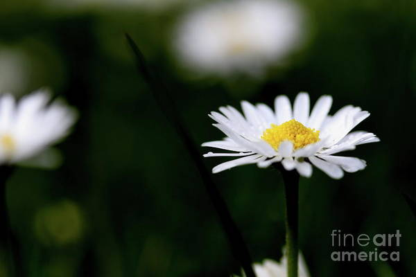 Photograph - Daisy Bellis Flower Weed . 7d5827 by Wingsdomain Art and Photography