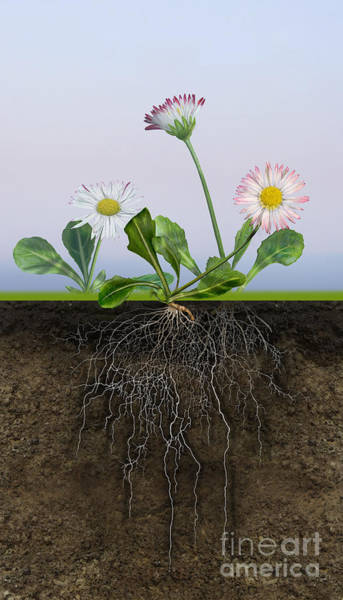 Painting - Daisy Bellis Perennis - Root System - Paquerette Vivace - Margar by Urft Valley Art