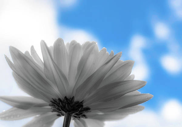 Photograph - Daisy Blue by Keith Smith