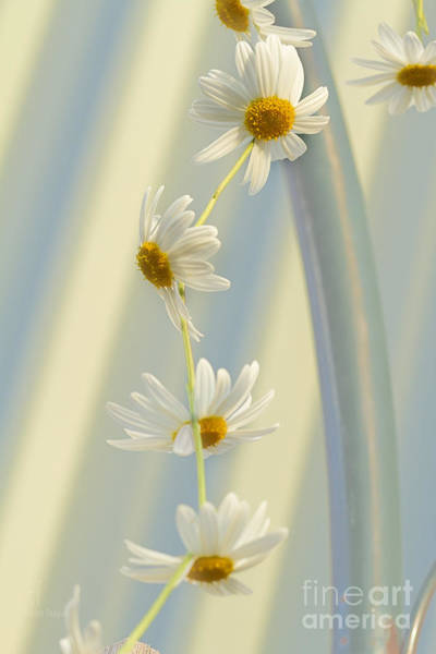 Photograph - Daisy Chain by Elaine Teague