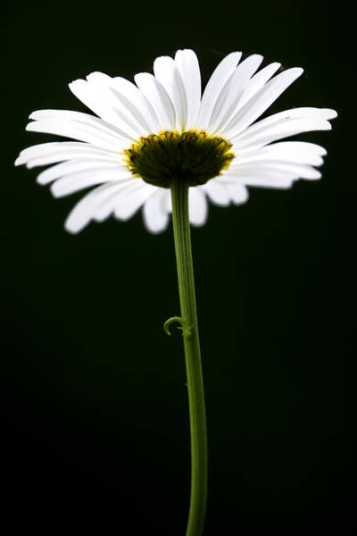 Photograph - Daisy Down Under by Patricia Montgomery