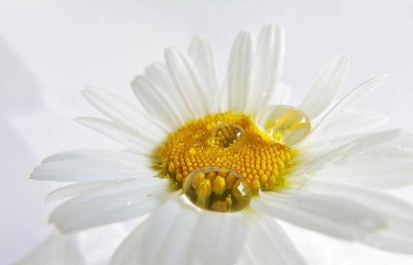 Photograph - Daisy Droplet by Barbara St Jean