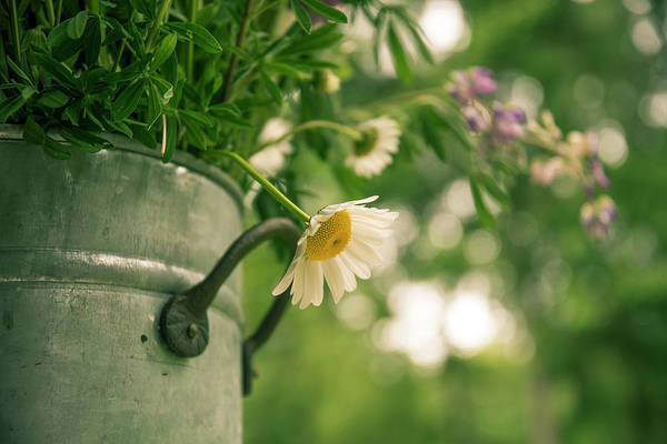 Photograph - Daisy Escape by Jani Freimann