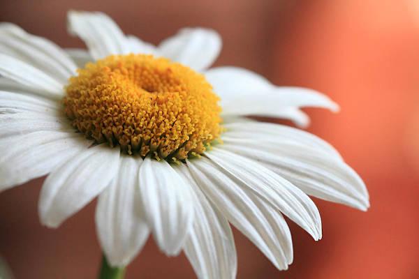 Photograph - Daisy Flower by Angela Murdock