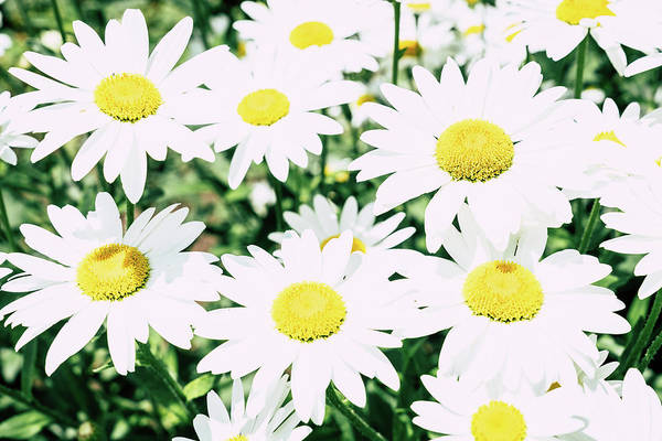 Wall Art - Photograph - Daisy Flowers by Alexey Stiop