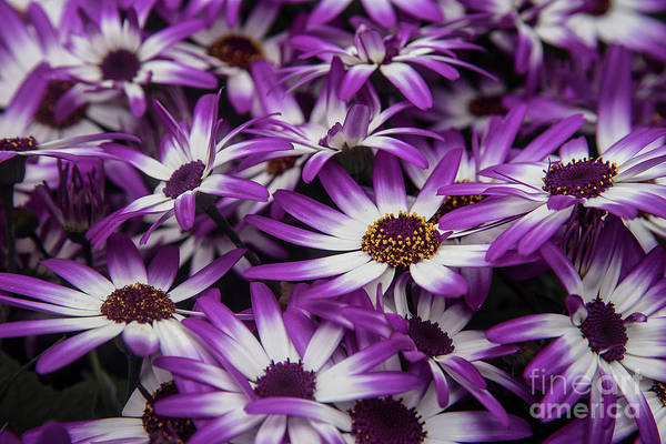 Photograph - Daisy Flowers-2231 by Steve Somerville