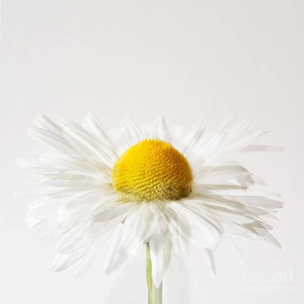 Impression Photograph - Daisy Impression by Janet Burdon