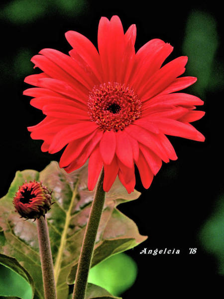 Photograph - Daisy Matt Red Gerbera  by Angelcia Wright