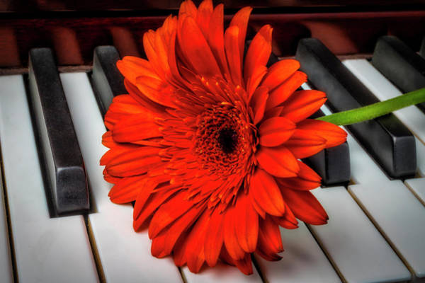 Wall Art - Photograph - Daisy On Piano Keys by Garry Gay
