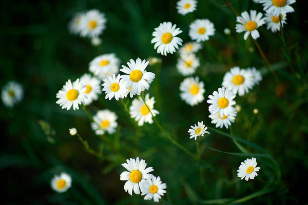 Depth Of Field Photograph - Daisy Patch by Todd Klassy
