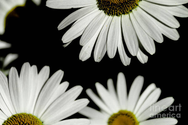 Photograph - Daisy Petals  by William Norton