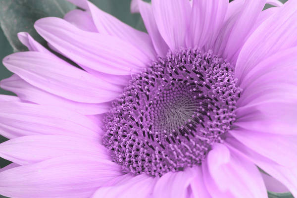 Photograph - Daisy Pink by Marie Leslie