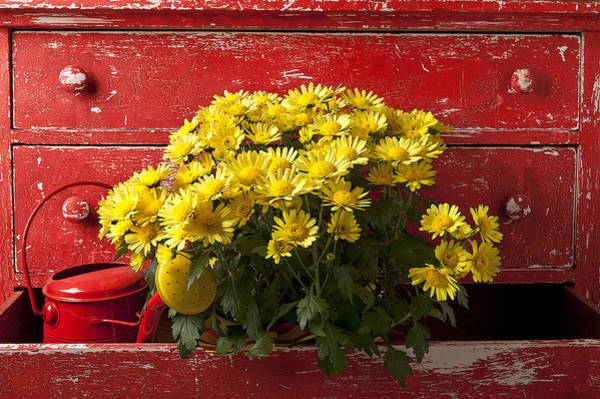 Chest Of Drawers Photograph - Daisy Plant In Drawers by Garry Gay