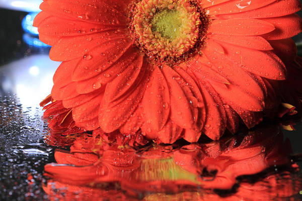 Photograph - Daisy Reflections by Angela Murdock