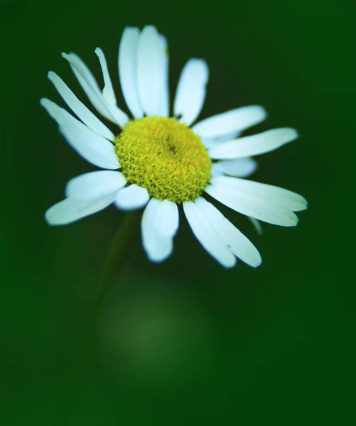 Photograph - Daisy by Rick Mosher