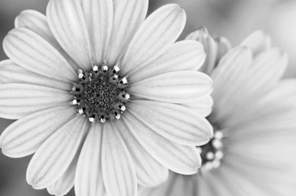 Photograph - Daisy Study by Margaret Pitcher
