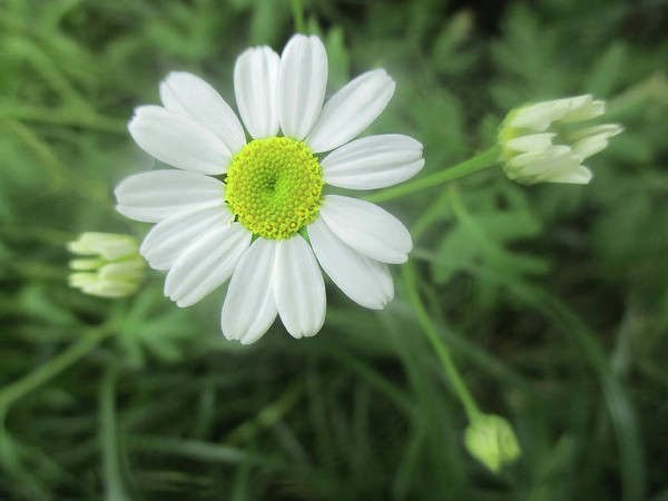 Photograph -  Daisy Feverfew by Valerie Anne Kelly