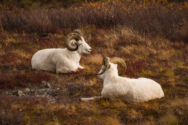 Photograph - Dall Sheep In Denali by Jeff Folger