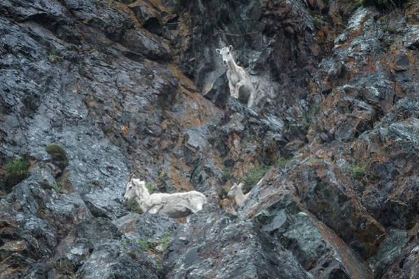 Photograph - Dall Sheep Way Above Seward Highway by Belinda Greb