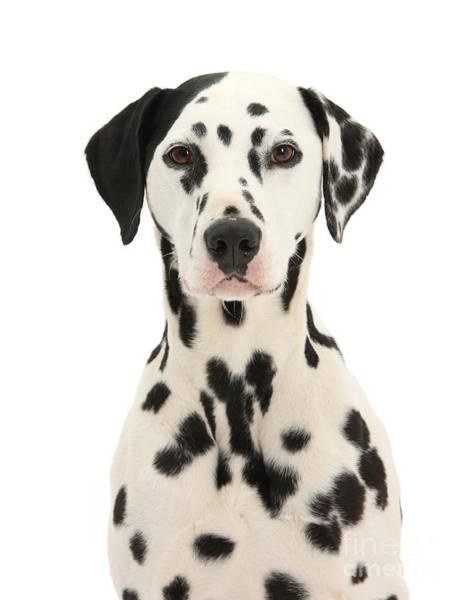 Photograph - Dalmatian Dog Portrait by Warren Photographic