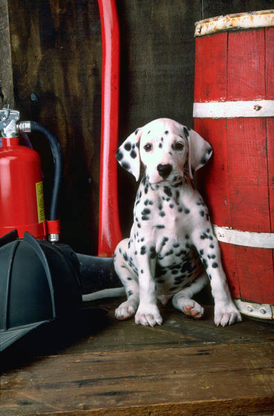 Wall Art - Photograph - Dalmatian Puppy With Fireman's Helmet  by Garry Gay