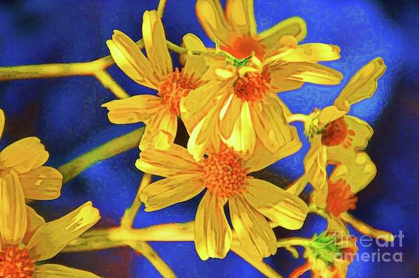 Photograph - Damianita Daisies by Diana Mary Sharpton