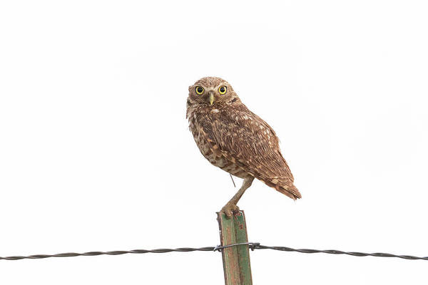 Photograph - Damp Burrowing Owl With Big Eyes by Tony Hake