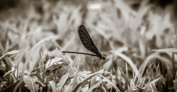 Near Photograph - Damsel Fly by Hyuntae Kim