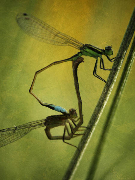 Photograph - Damsel Fly Love by Charles McKelroy