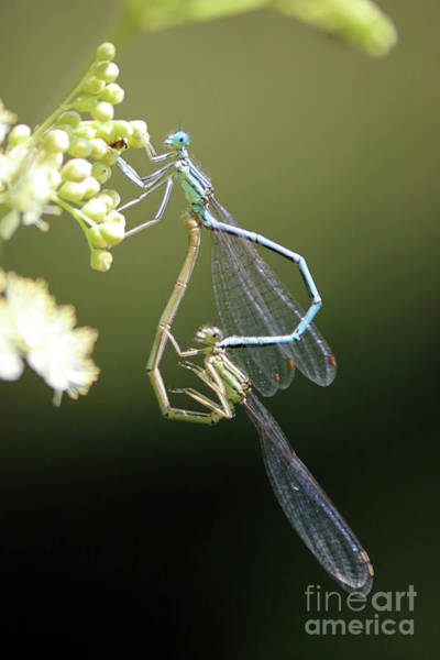Photograph - Damselflies In Love by Julia Gavin
