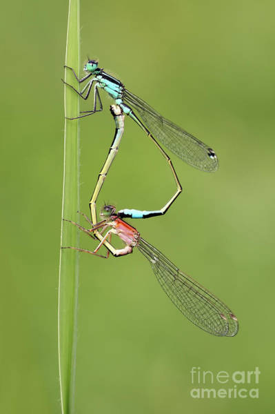 Wall Art - Photograph - Damselflies by Pics For Merch