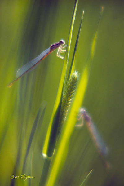 Photograph - Damselflies by Bruce Thompson