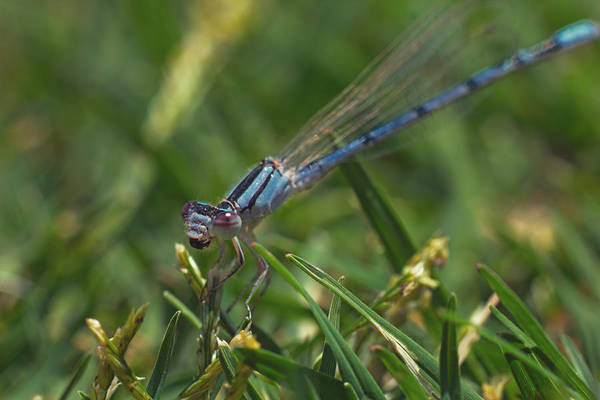 Photograph - Damselfly  by Brian Cross