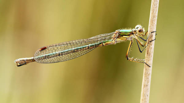 Photograph - Damselfly by Grant Glendinning