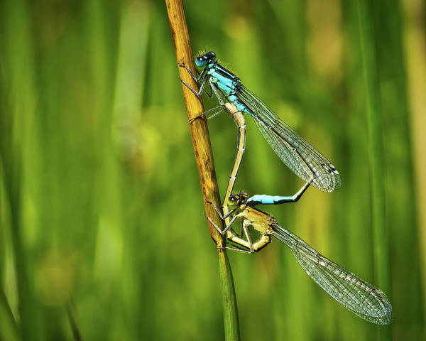 Wall Art - Photograph - Damselfly Mating by Chris Whittle