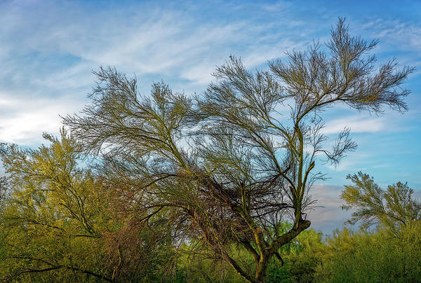 Photograph - Dance Of Palo Verde H1700 by Mark Myhaver