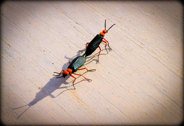 Photograph - Dance Of The Desert Blister Beetles by Bonnie Follett