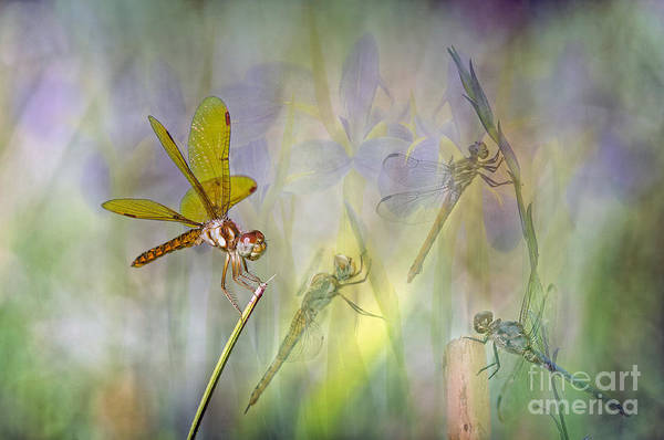 Blue Dragonfly Photograph - Dance Of The Dragonflies by Bonnie Barry
