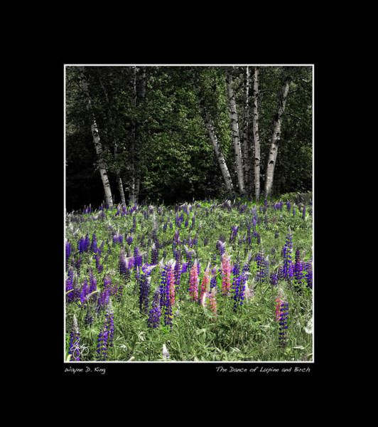 Photograph - Dance Of The Lupine And Birch Poster by Wayne King