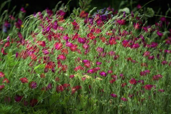 Photograph - Dance Of The Tulips by John Whitmarsh