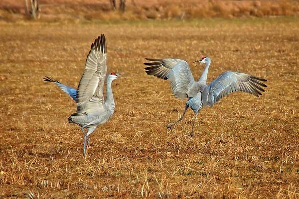 Photograph - Dance Ritual, Sandhill Cranes by Flying Z Photography by Zayne Diamond