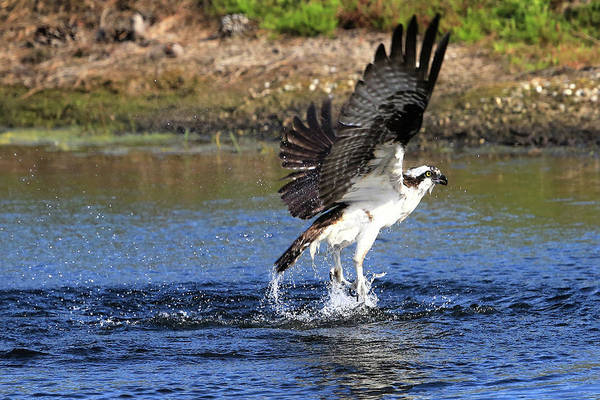 River Hawk Photograph - Dances With Water by Donna Kennedy