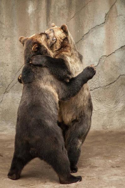 Photograph - Dancing Bears by Stewart Helberg