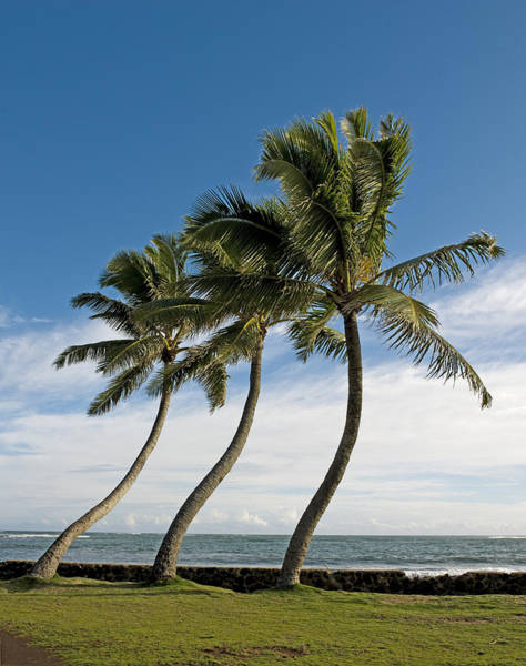 Hawaii Wall Art - Photograph - Dancing Coconut Tree by Brendan Reals