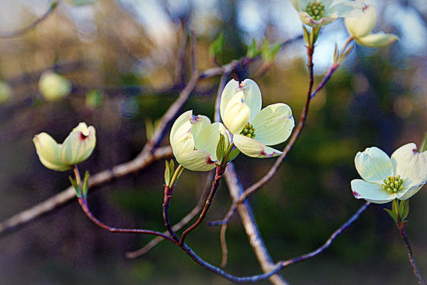 Photograph - Dancing Dogwood Blooms by Cricket Hackmann