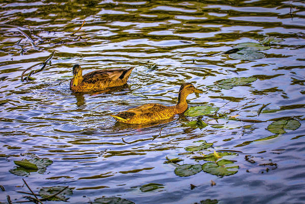 Photograph - Dancing Ducks #h8 by Leif Sohlman