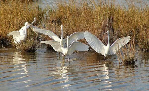 Water Birds Wall Art - Photograph - Dancing Egrets by Valia Bradshaw