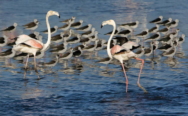 Wall Art - Photograph - Dancing Flamingos by Basie Van Zyl