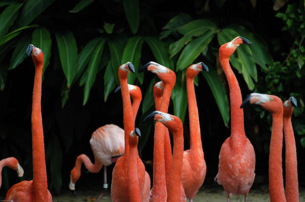 Wall Art - Photograph - Dancing Flamingos  by Happy Home Artistry